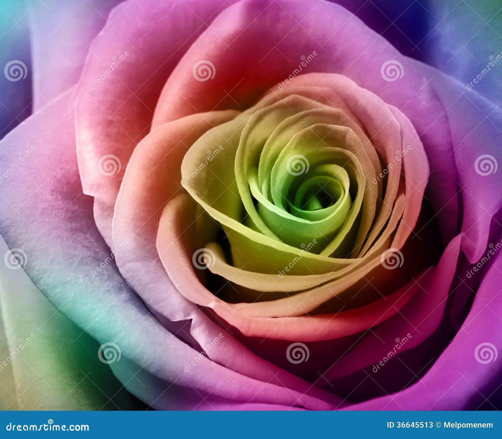 sch ne bunte rose stockfotos bild 36645513. Black Bedroom Furniture Sets. Home Design Ideas
