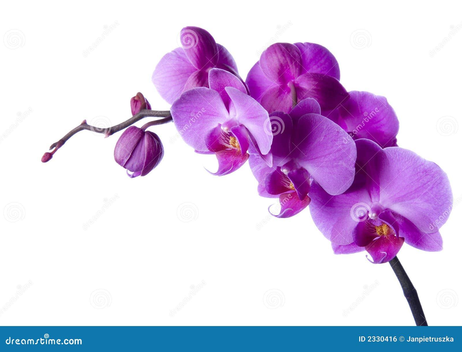 sch ne orchideen lizenzfreies stockbild bild 2330416. Black Bedroom Furniture Sets. Home Design Ideas