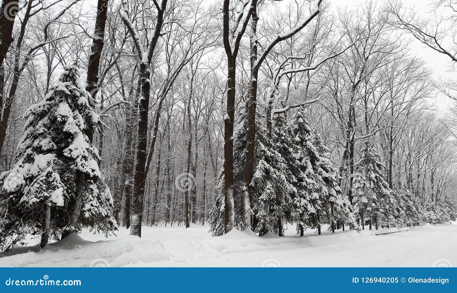 Schnee auf Fichten im Park - Winter