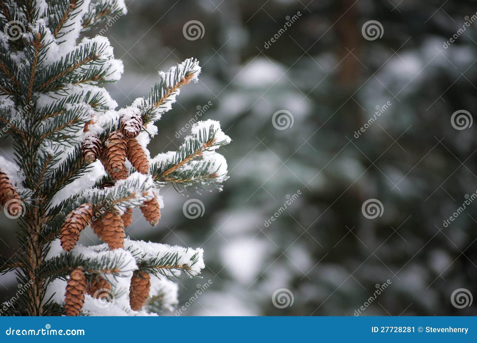 Schnee auf unverwüstlichen Zweigen