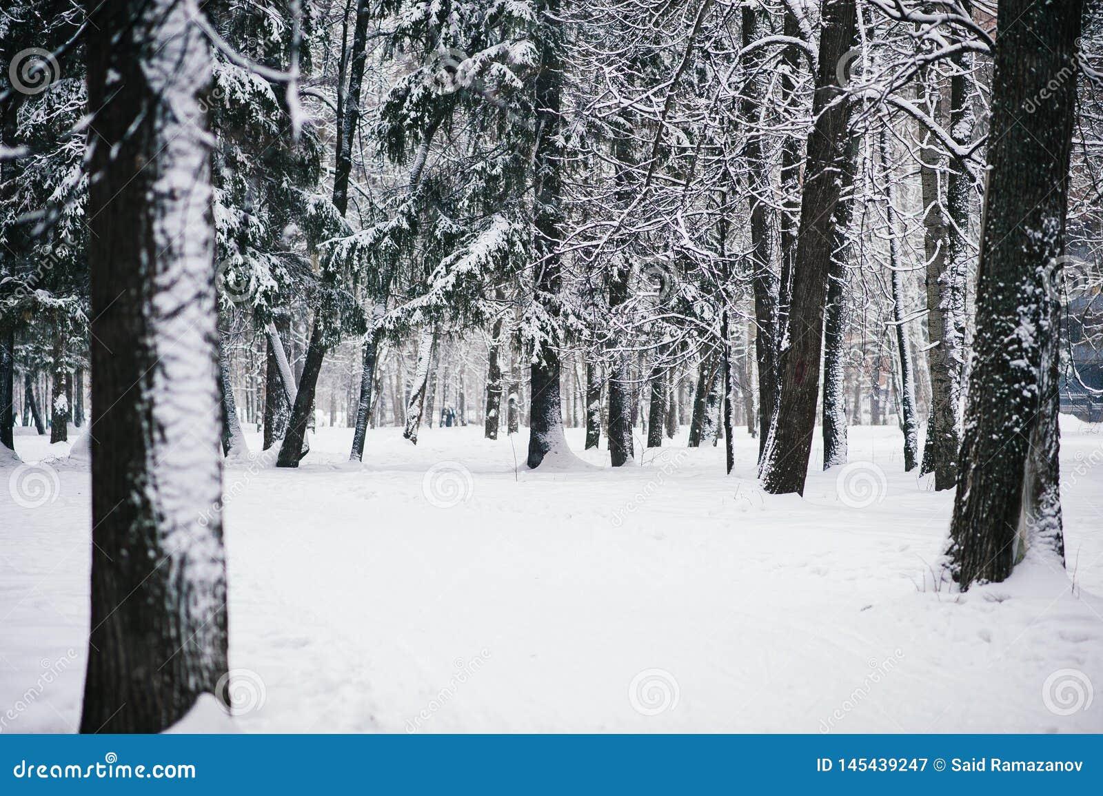Schnee bedeckte B?ume im Winterwald