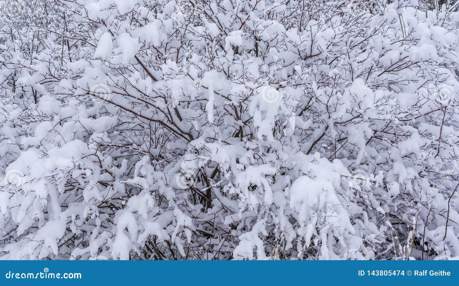Schneebedeckter Busch nach eisigen Schneefällen