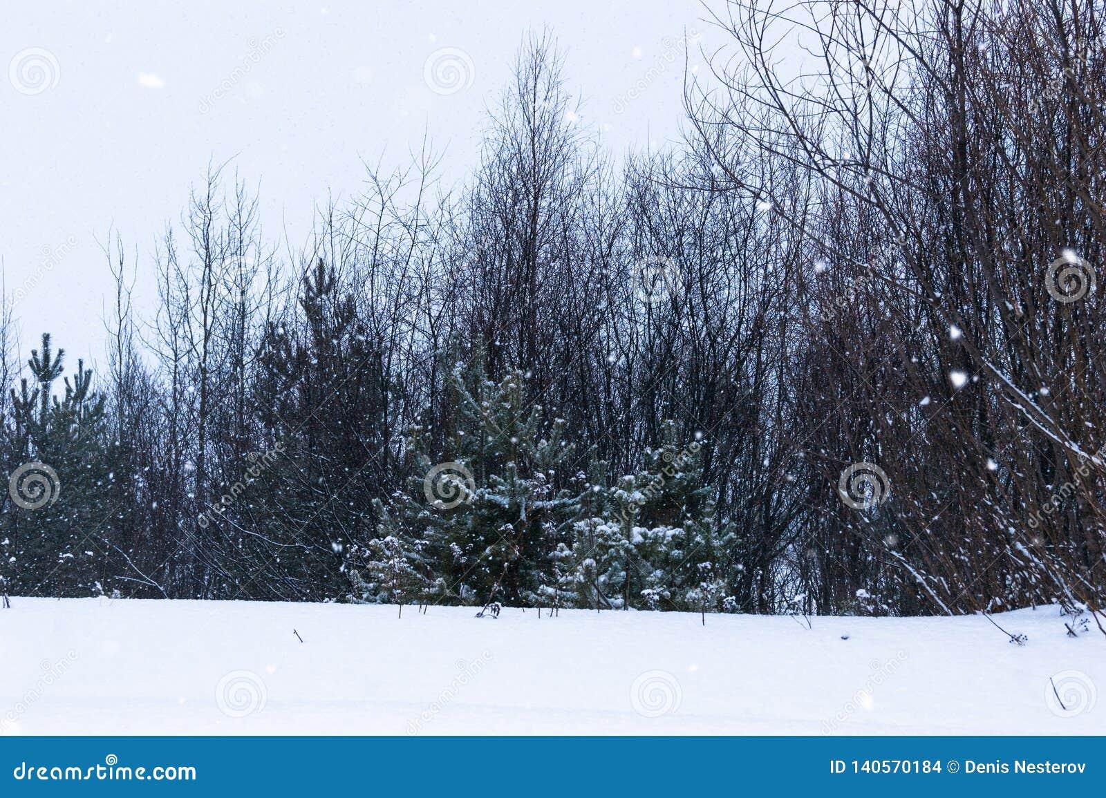 Schneefälle am Rand des Waldes, in dem Kiefern, Weiden und Birken wachsen, verschneiter Winter
