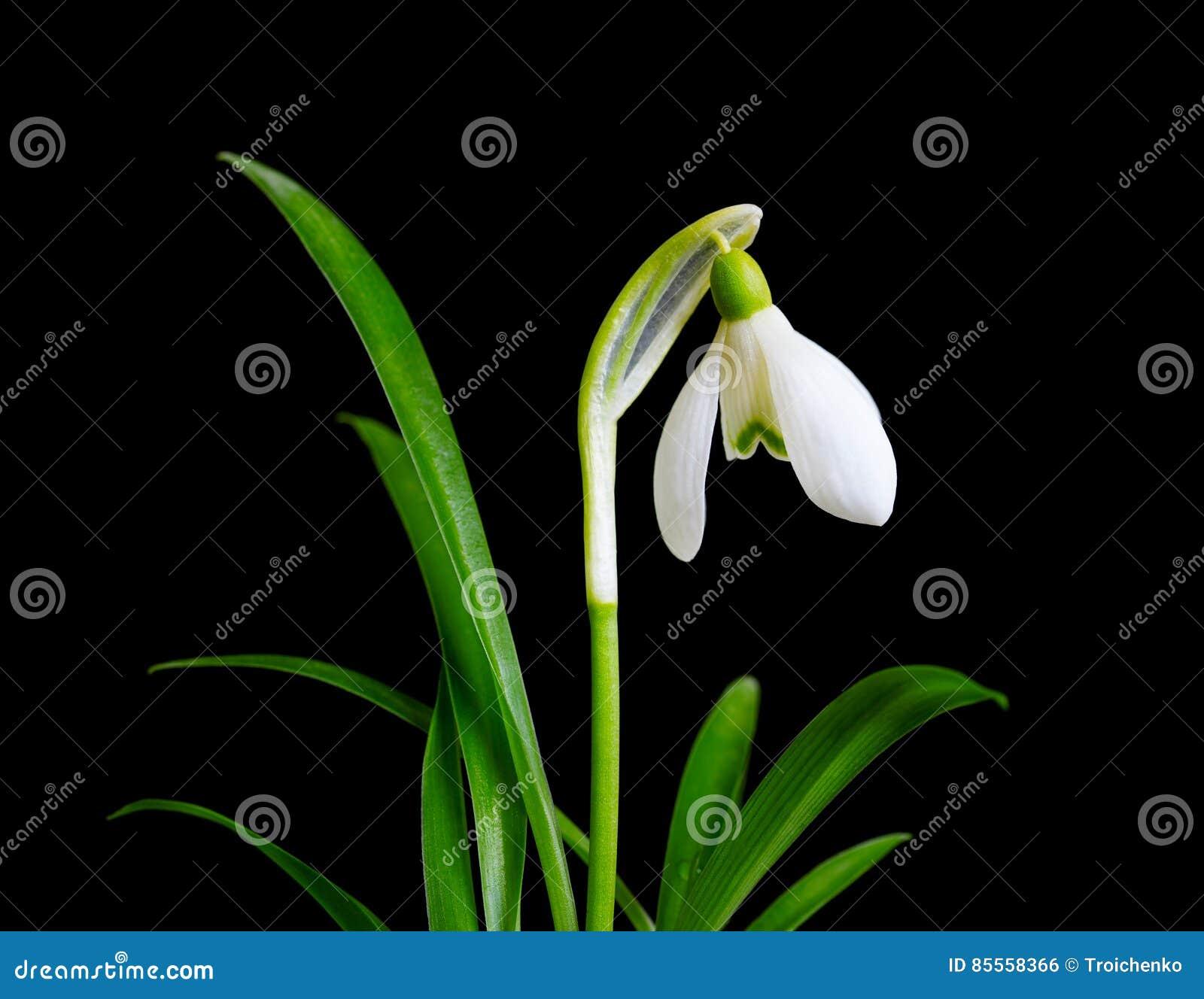Schneeglöckchen mit den Blättern lokalisiert Kleines Schneeglöckchen mit dem grünen Blatt lokalisiert