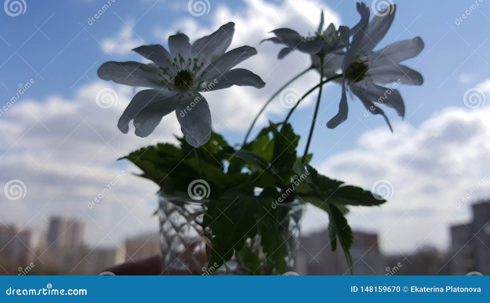 Schneegl?ckchenfr?hlingsblumen Schneegl?ckchen gegen den blauen Himmel Schneegl?ckchennahaufnahme Ein kleiner Blumenstrau? von Sc