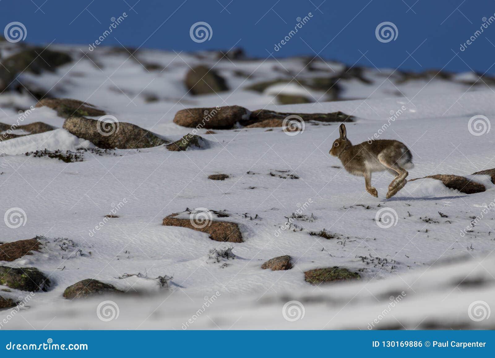 Schneehase, Lepus timidus, während Oktobers noch im Sommermantel umgeben durch Schnee in den Rauchtquarzen NP, Schottland