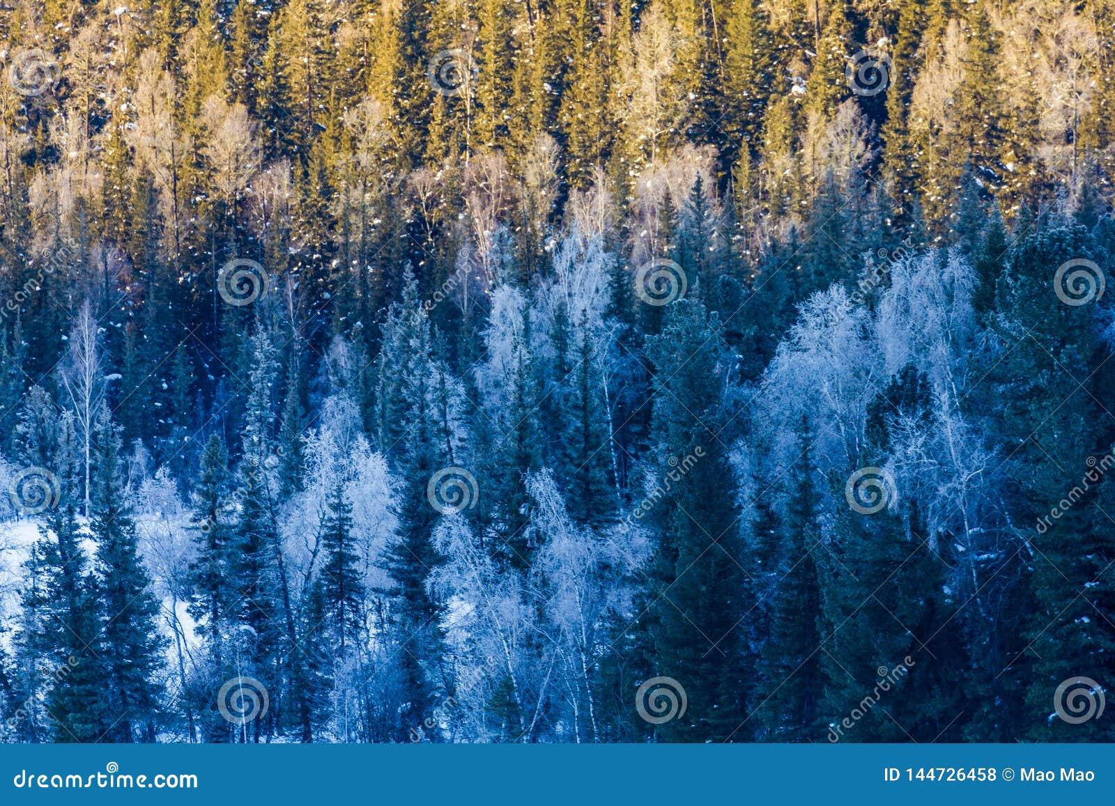 Schneewald im Winter Der schneebedeckte Gongnaisi-Wald im Winter