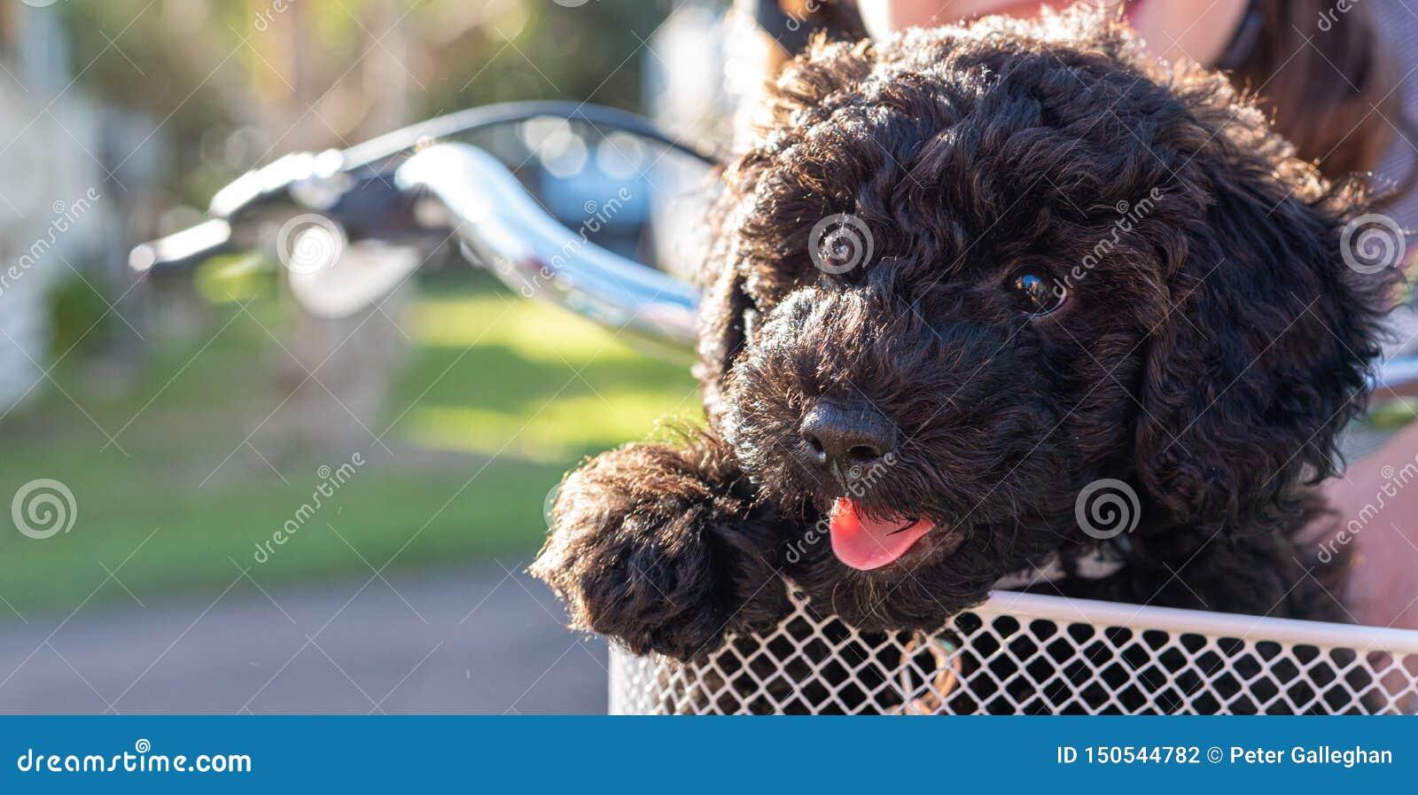 Schnoodle szczeniaka psa obsiadanie w roweru koszykowy patrzeć śliczny