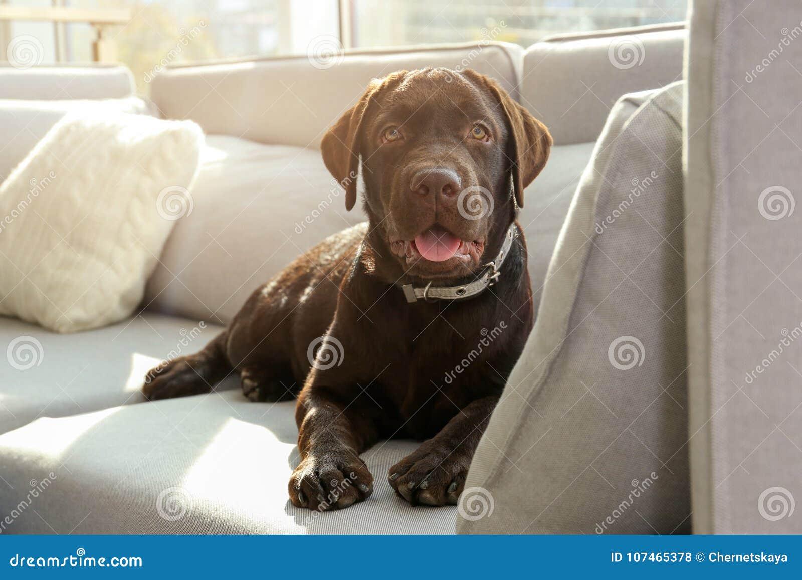 Schokolade labrador retriever auf Sofa