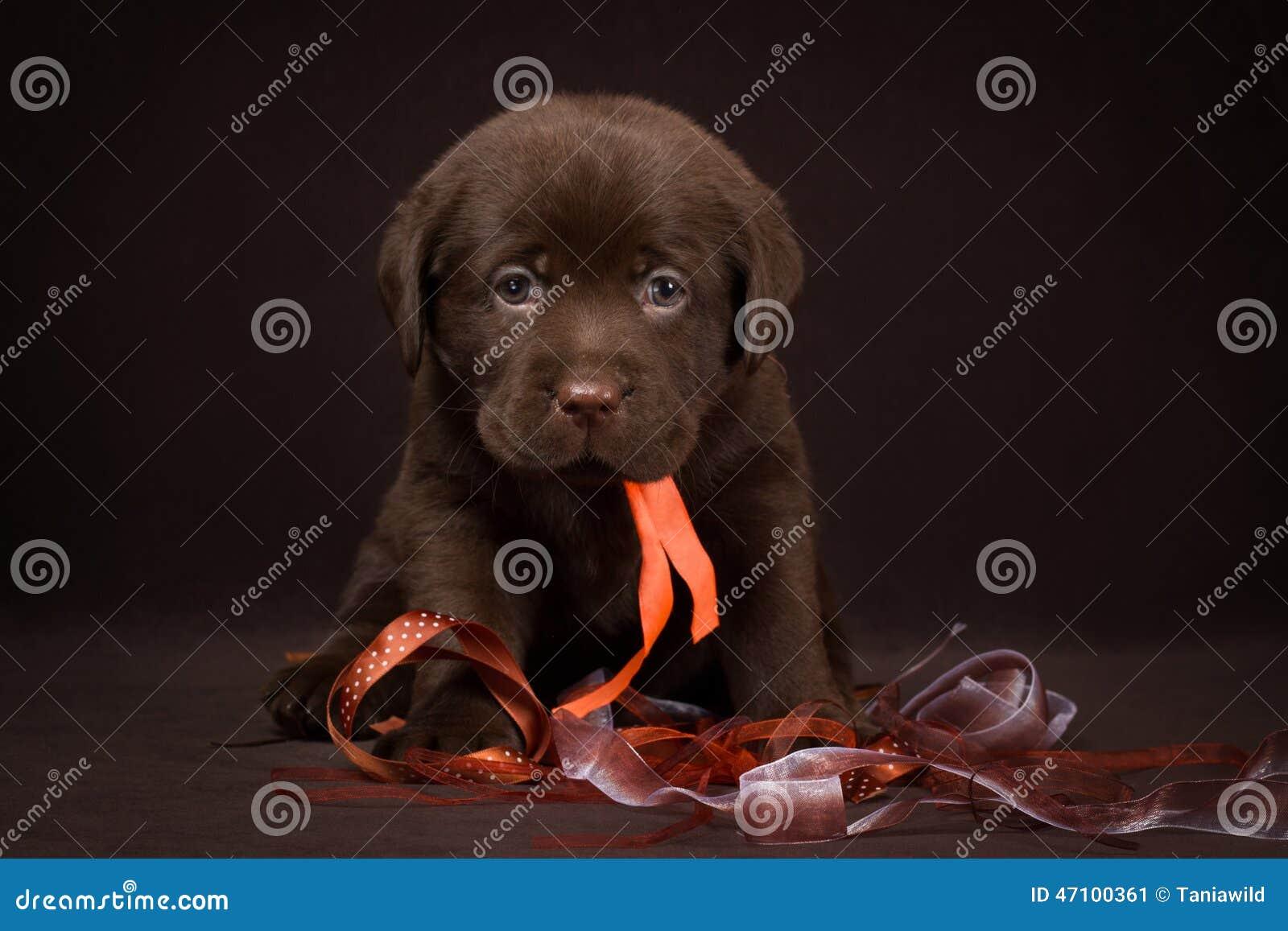 Schokoladenlabrador-Welpe, der auf einem Braun sitzt