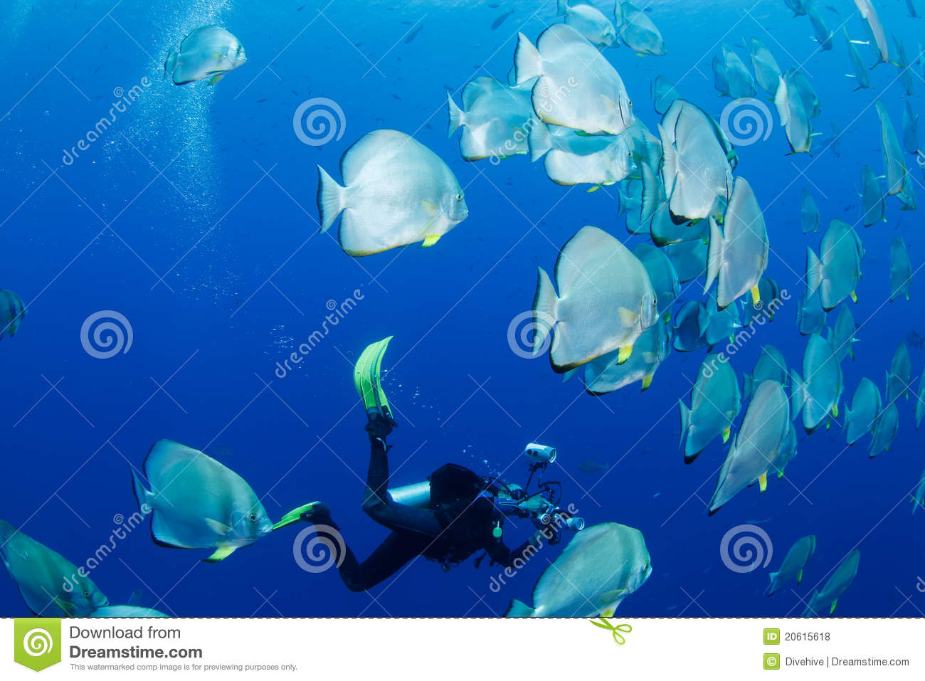 School of batfish and photographer