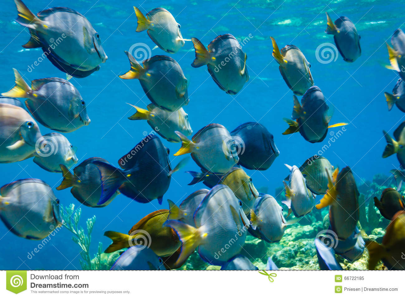 School of blue tang acanthurus coeruleus fish swimming on for Dream of fish swimming