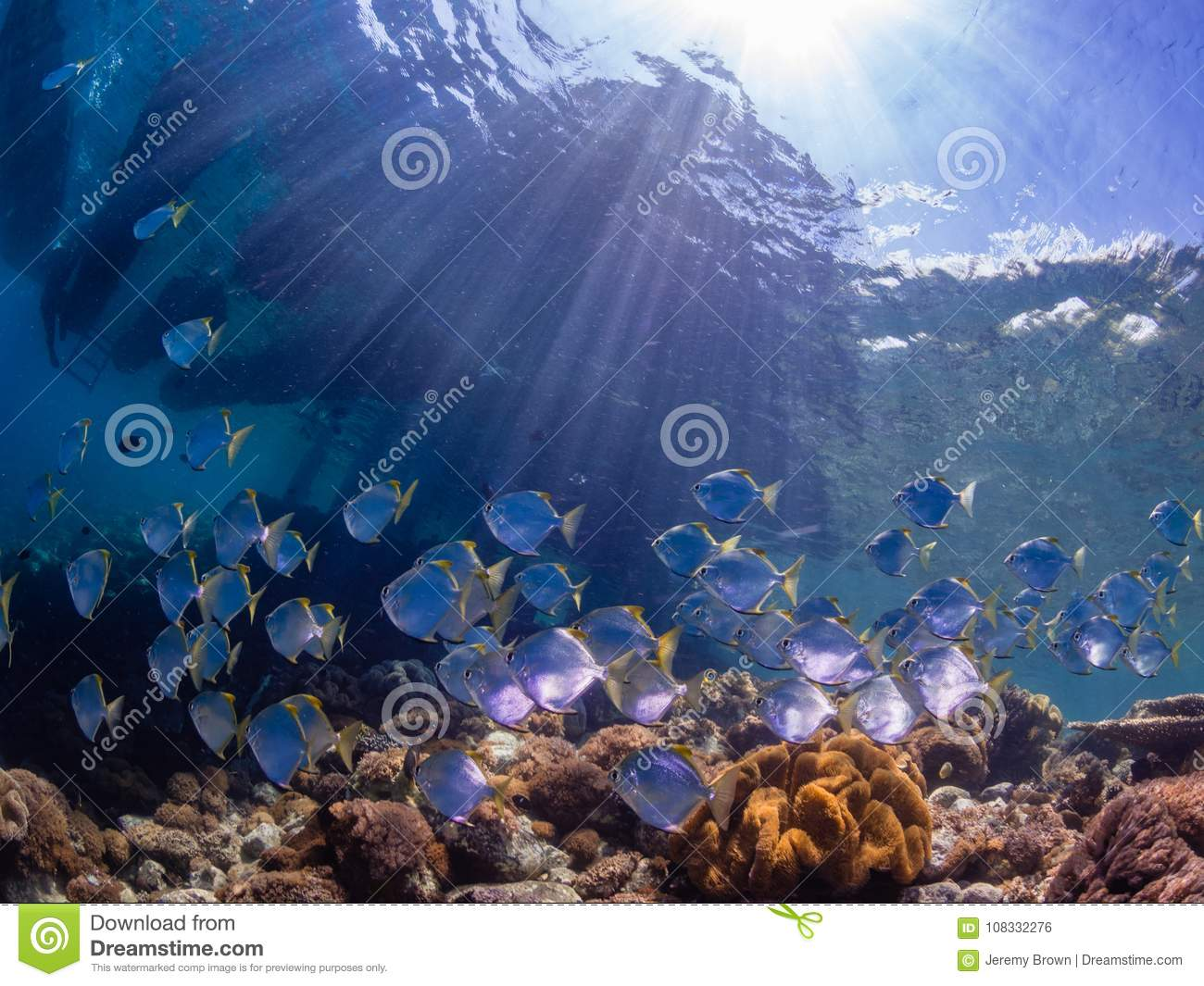 School of diamondfish on a pristine tropical coral reef