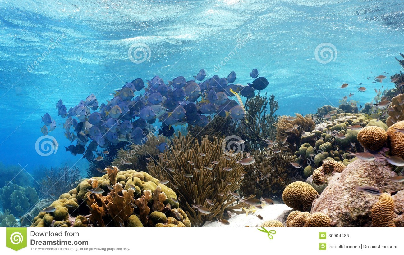 School of fish blue tang royalty free stock image image for Caribbean reef fish