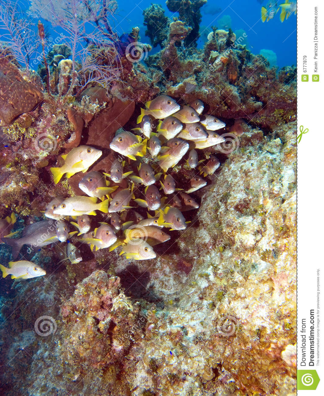 School of fish on a caribbean reef royalty free stock for Caribbean reef fish