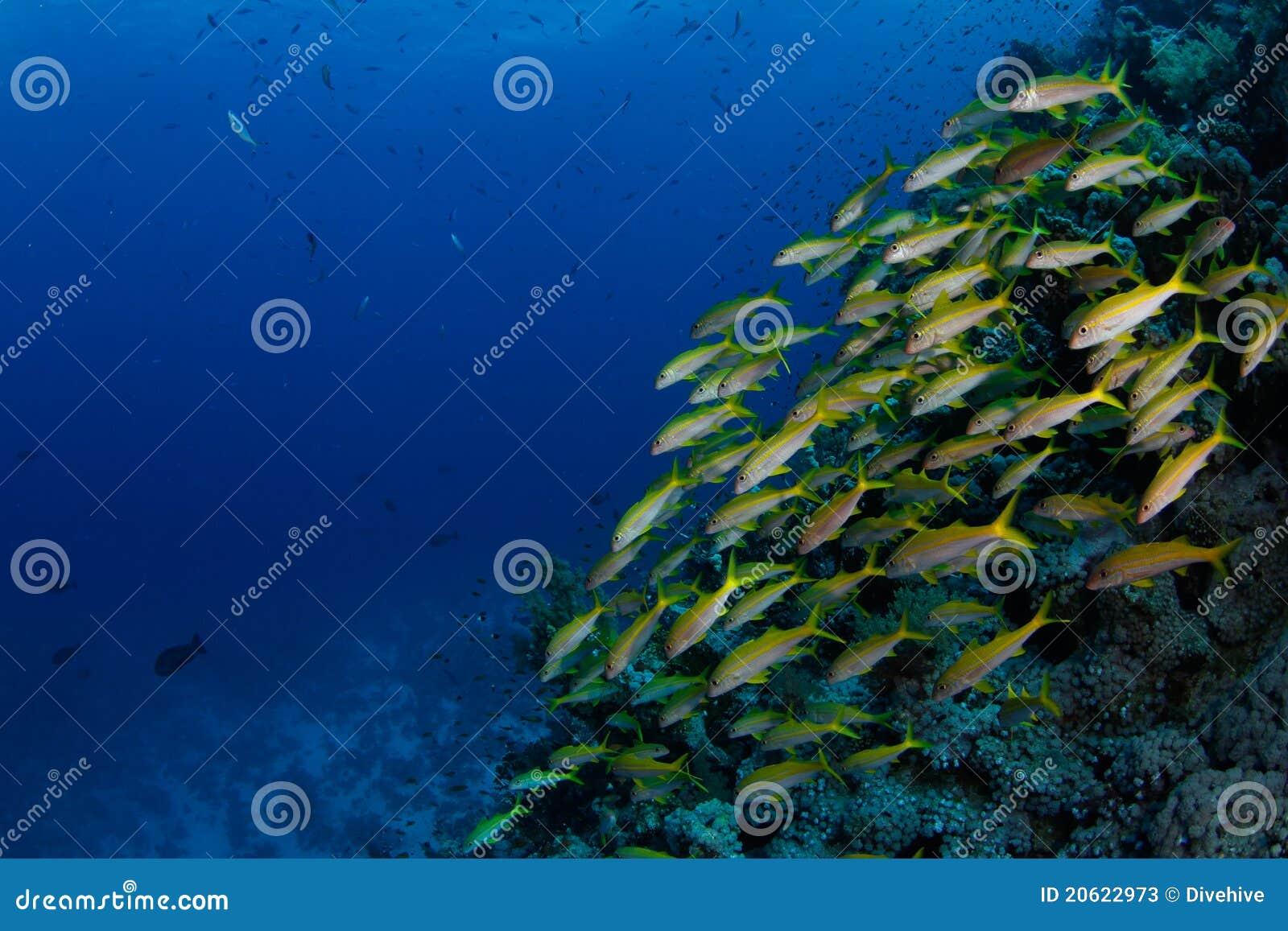 School of goatfish
