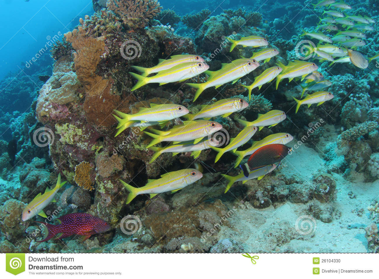 School of goatfish on a tropical coral reef