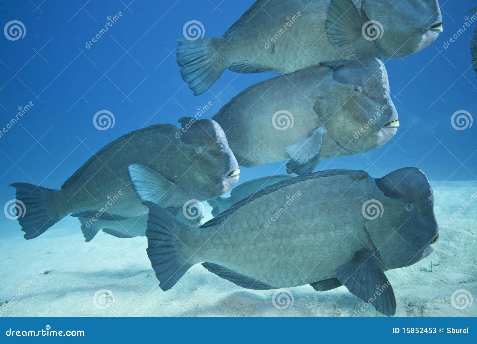 School of humphead fish  great barrier reef Humphead Fish