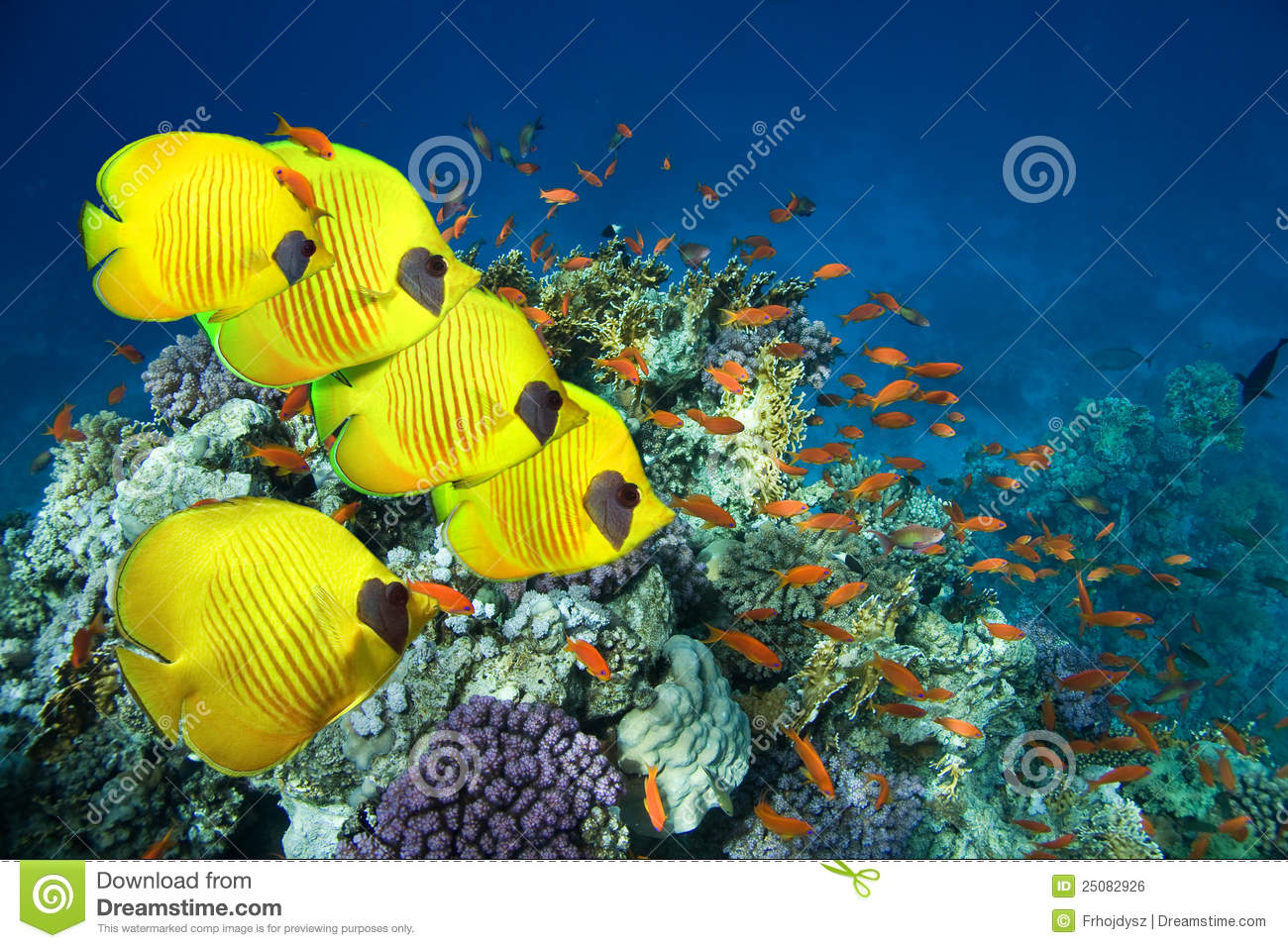 behaviour of fish in an egyptian I had become fascinated by fish behaviour and i was sure that my next step  would  the coral reef around blue hole, the red sea, egypt.