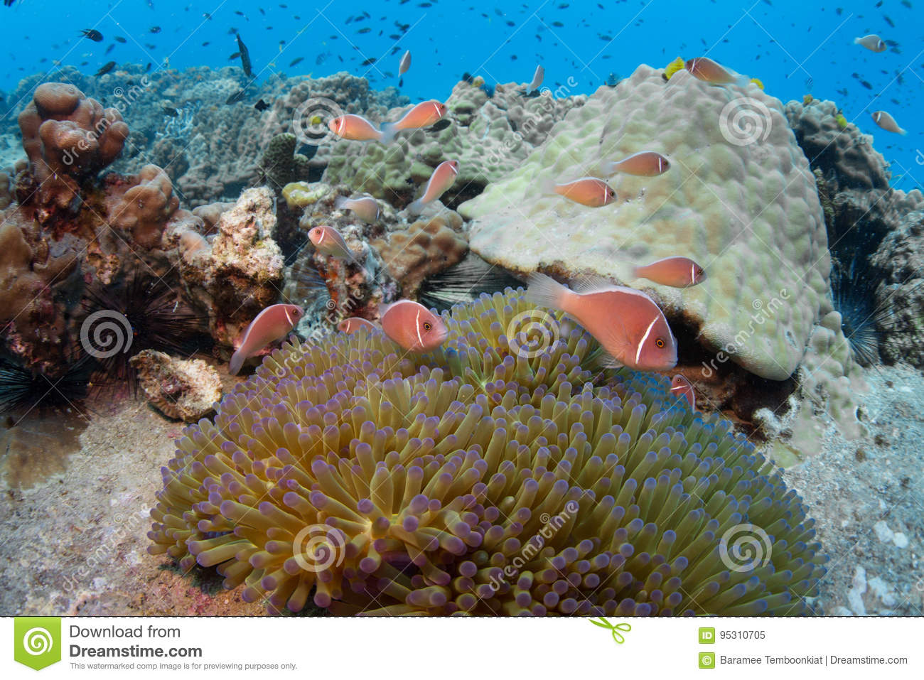 School of pink anemonefish Amphiprion perideraion in an anemon