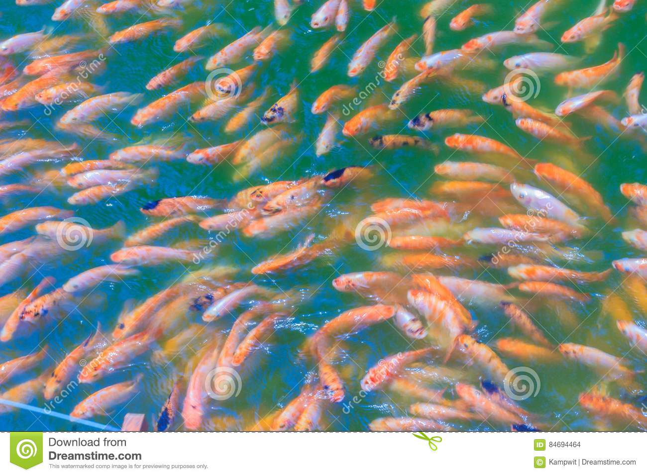 Download School Of Red Orange Perch Tilapia Fish In The Fresh Water Pond Stock