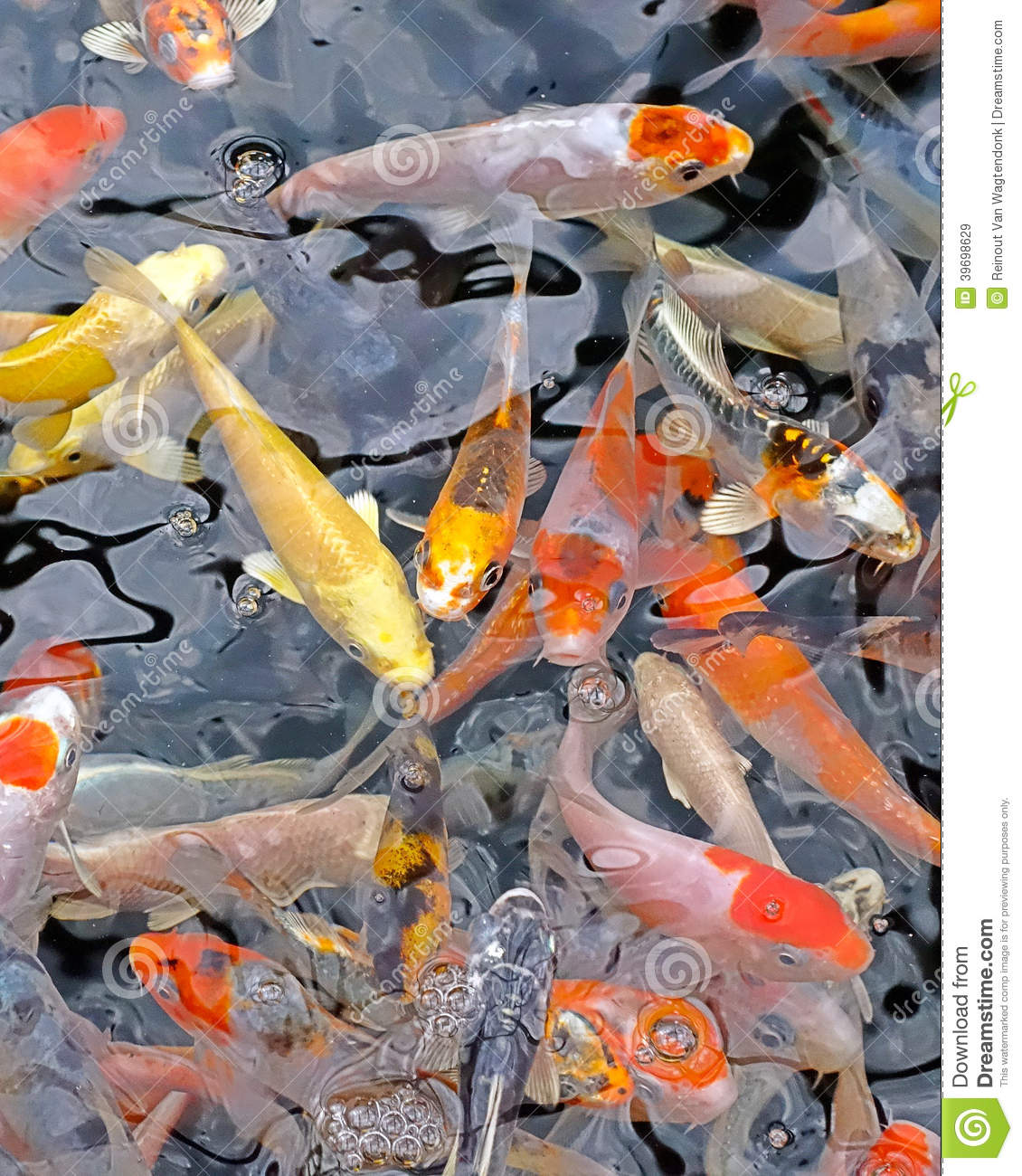 School of small koi fish stock photo image 39698629 for Mini carpe koi