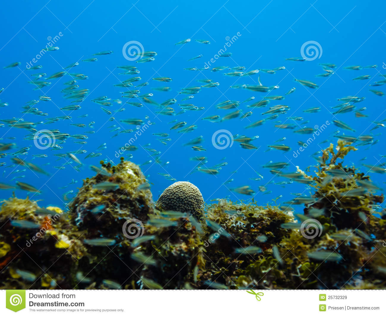 School of small tropical fish on coral reef stock image for Small tropical fish