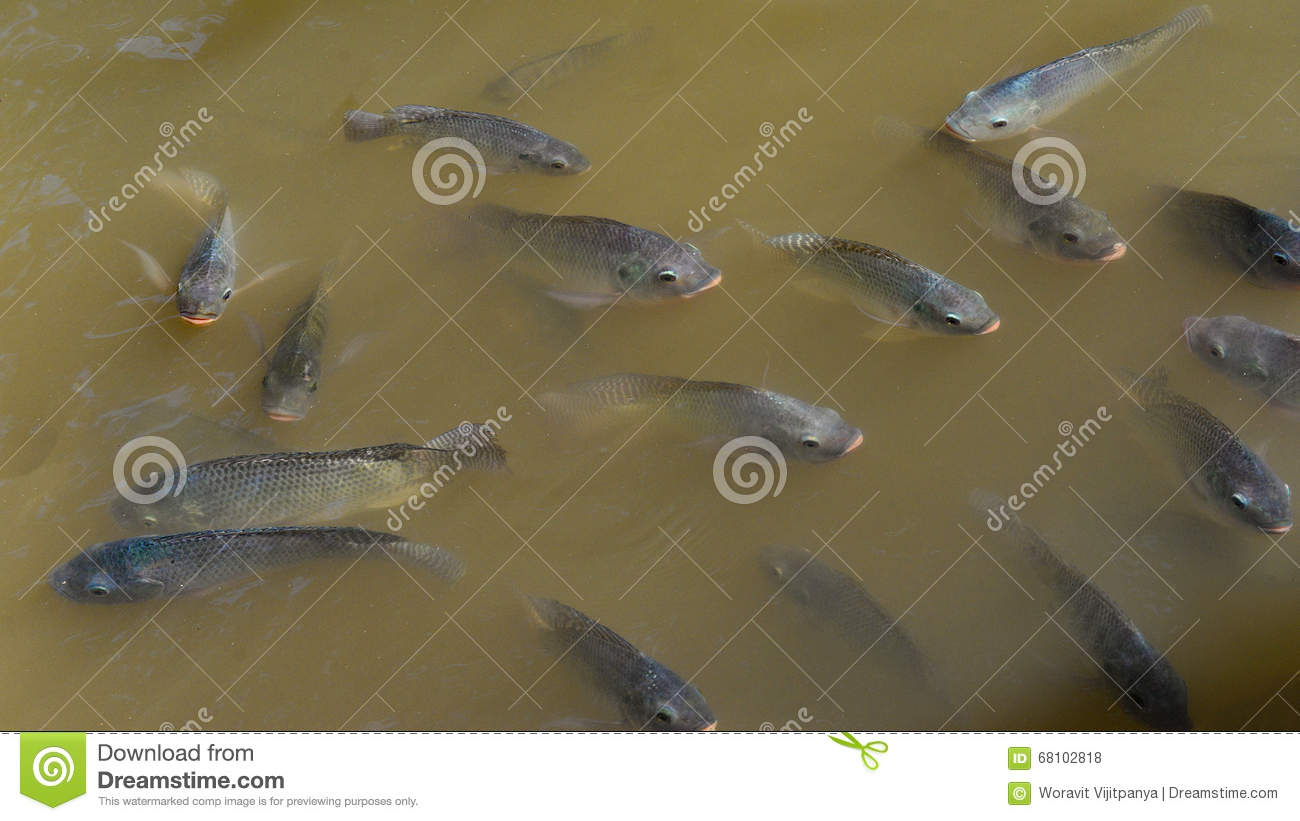 Download School Tilapia Fish Stock Photo Image Of Aquaculture
