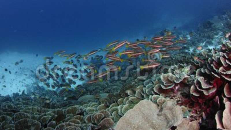 School of twospot snapper Lutjanus biguttatus are swimming in a Corl Reef,  slow motion