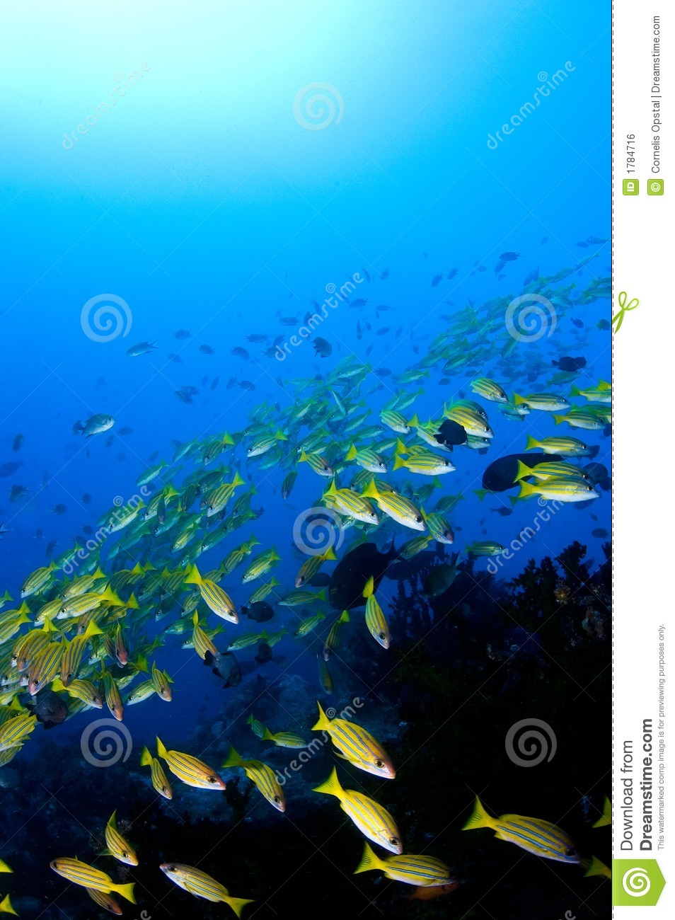 School of yellow snappers over reef.