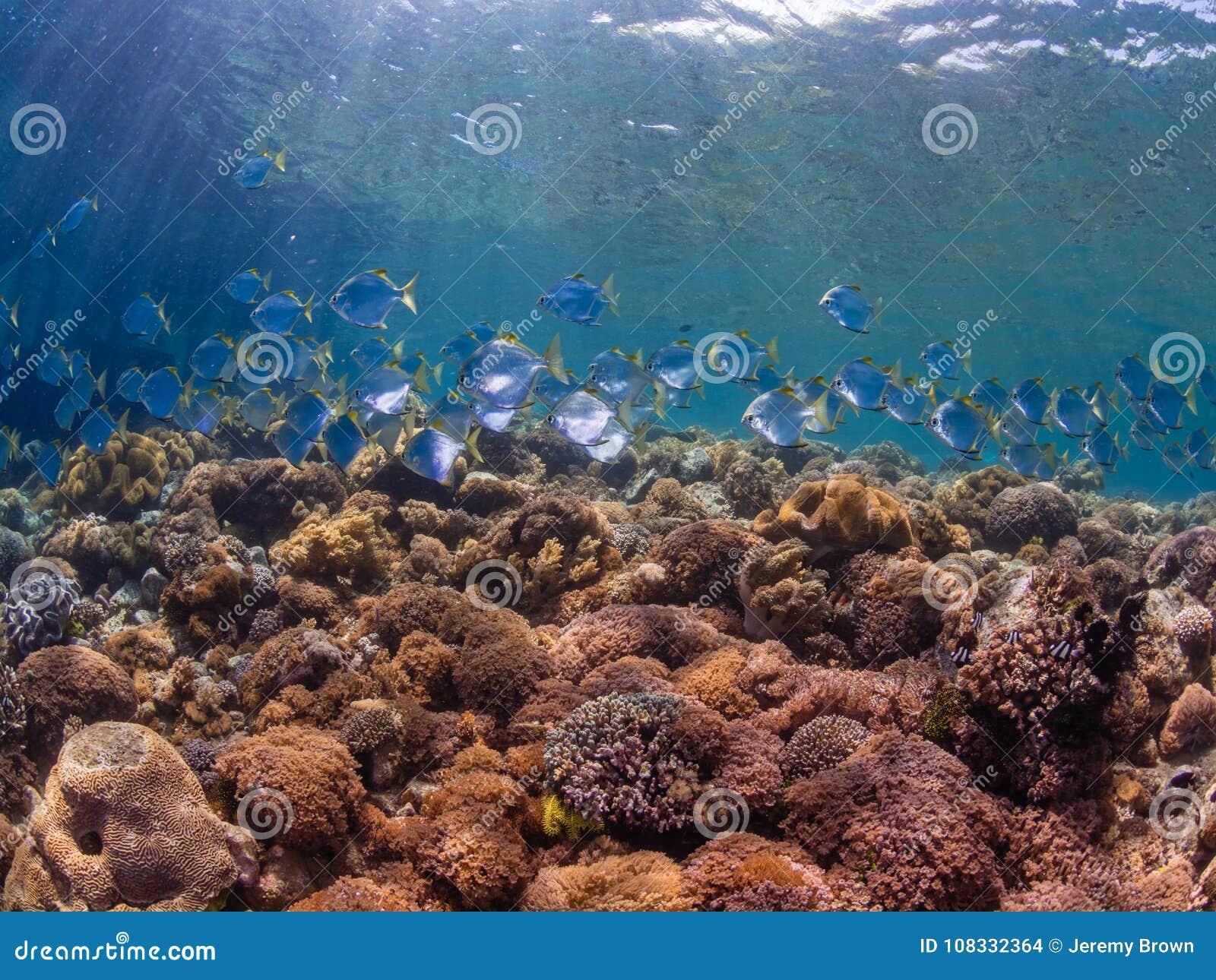 School of diamondfish on a pristine tropical coral reef