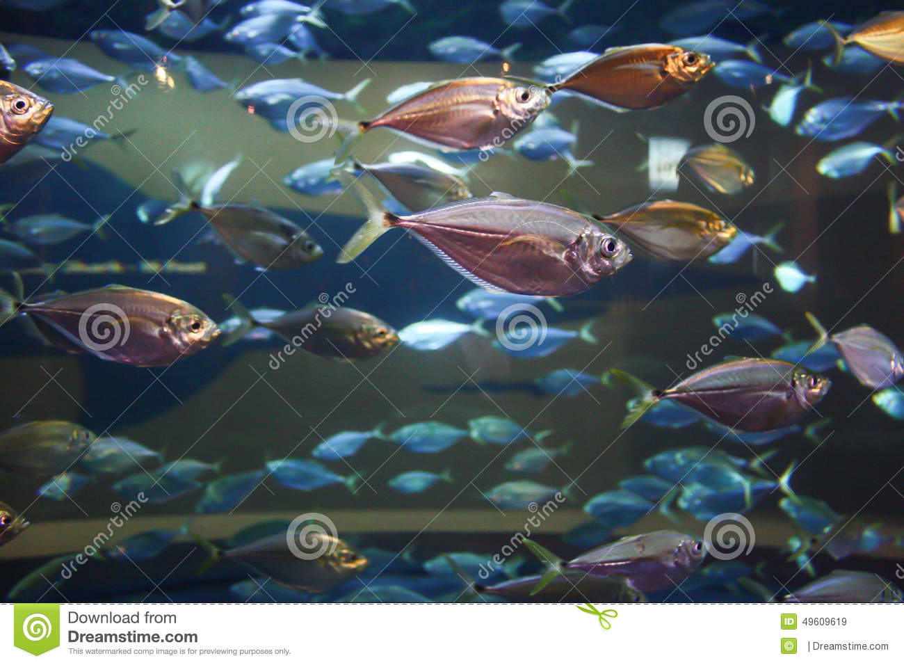 Schooling fish stock photo image 49609619 for Freshwater schooling fish