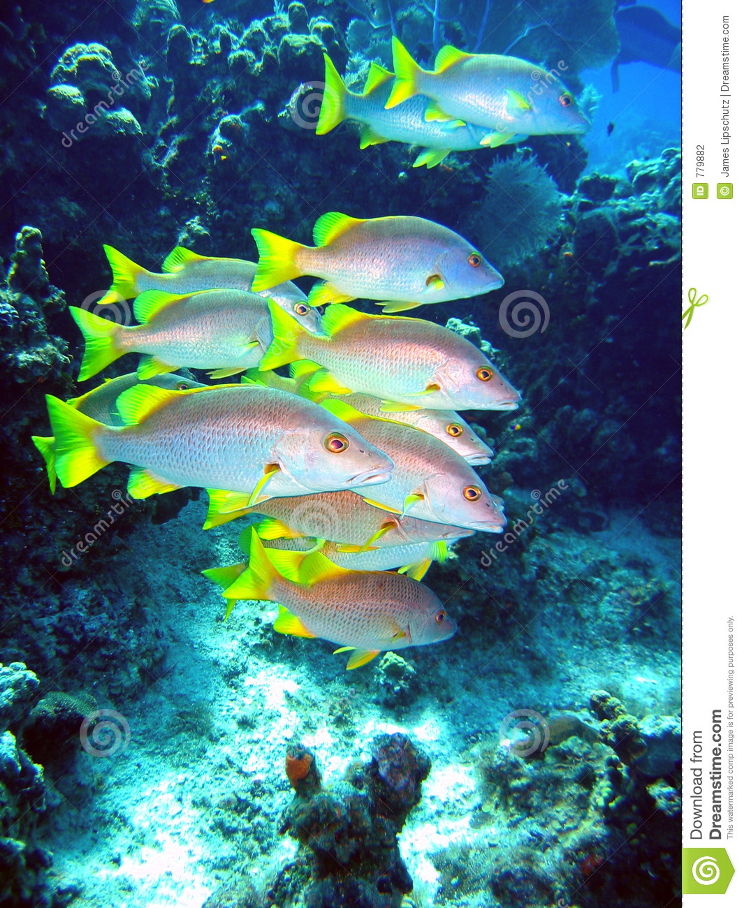 schoolmaster fish swimming stock photo image of water