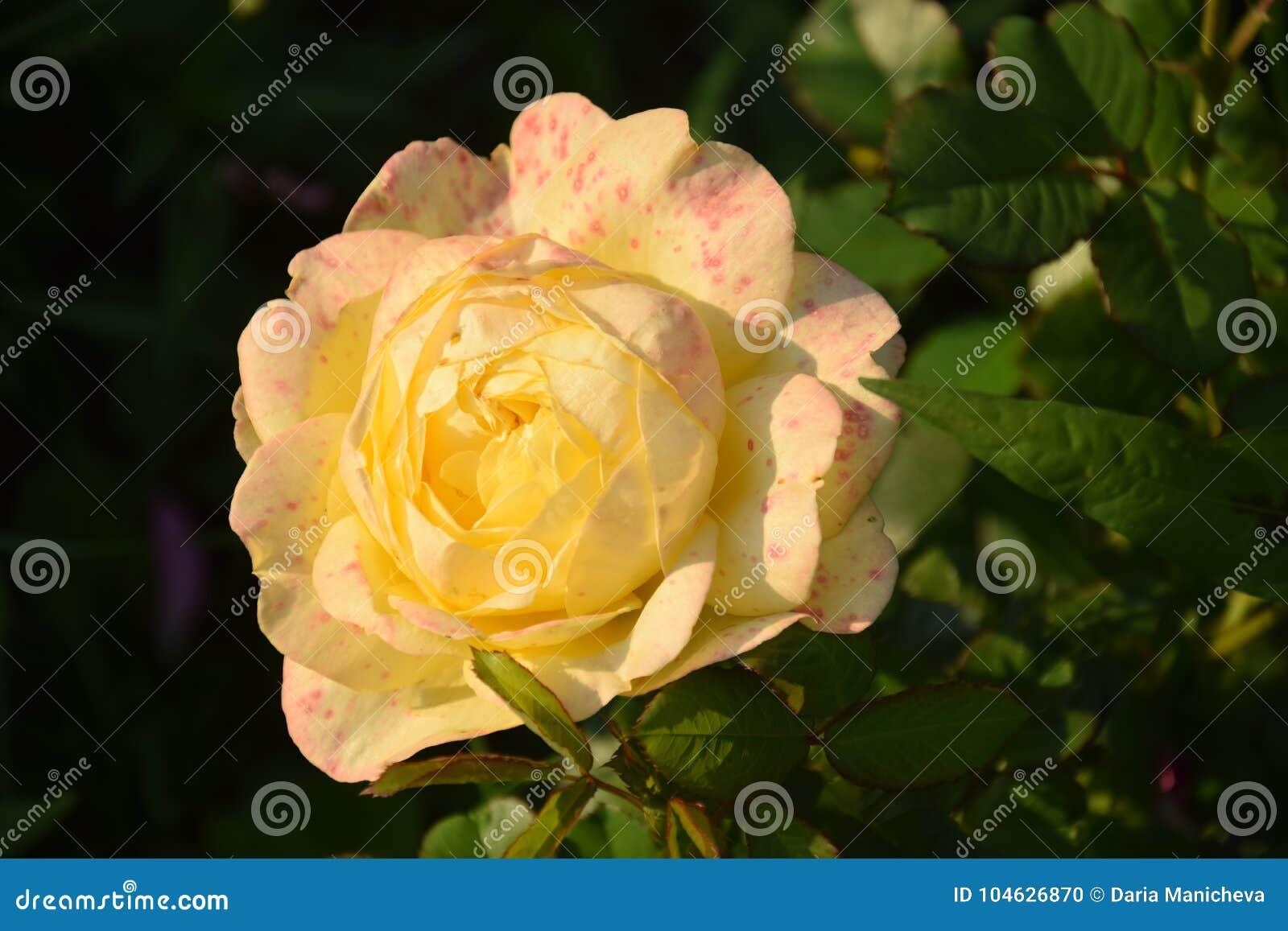 Download Schoonheid van bloemen stock foto. Afbeelding bestaande uit summer - 104626870