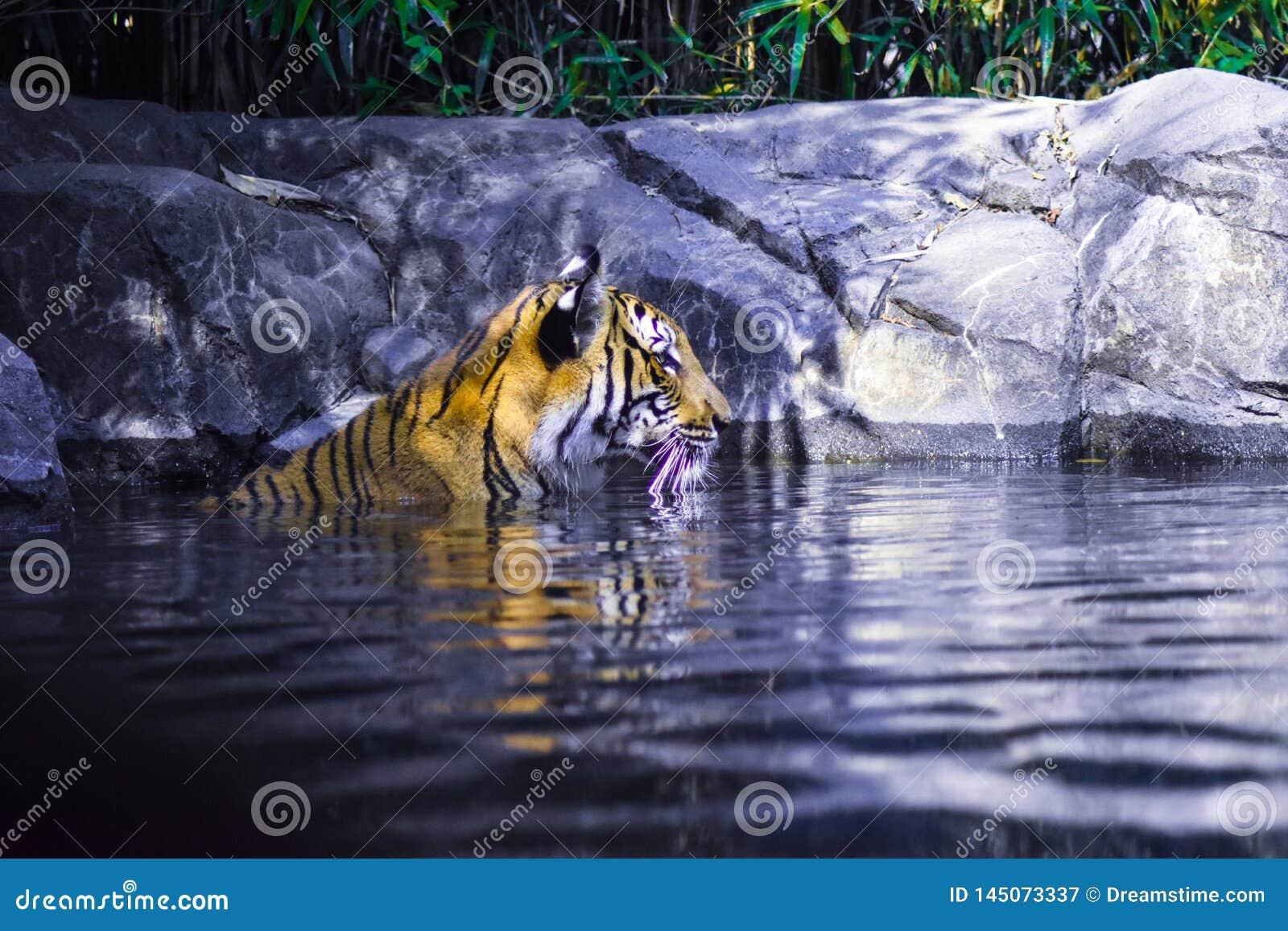Schoonheid van een tijger