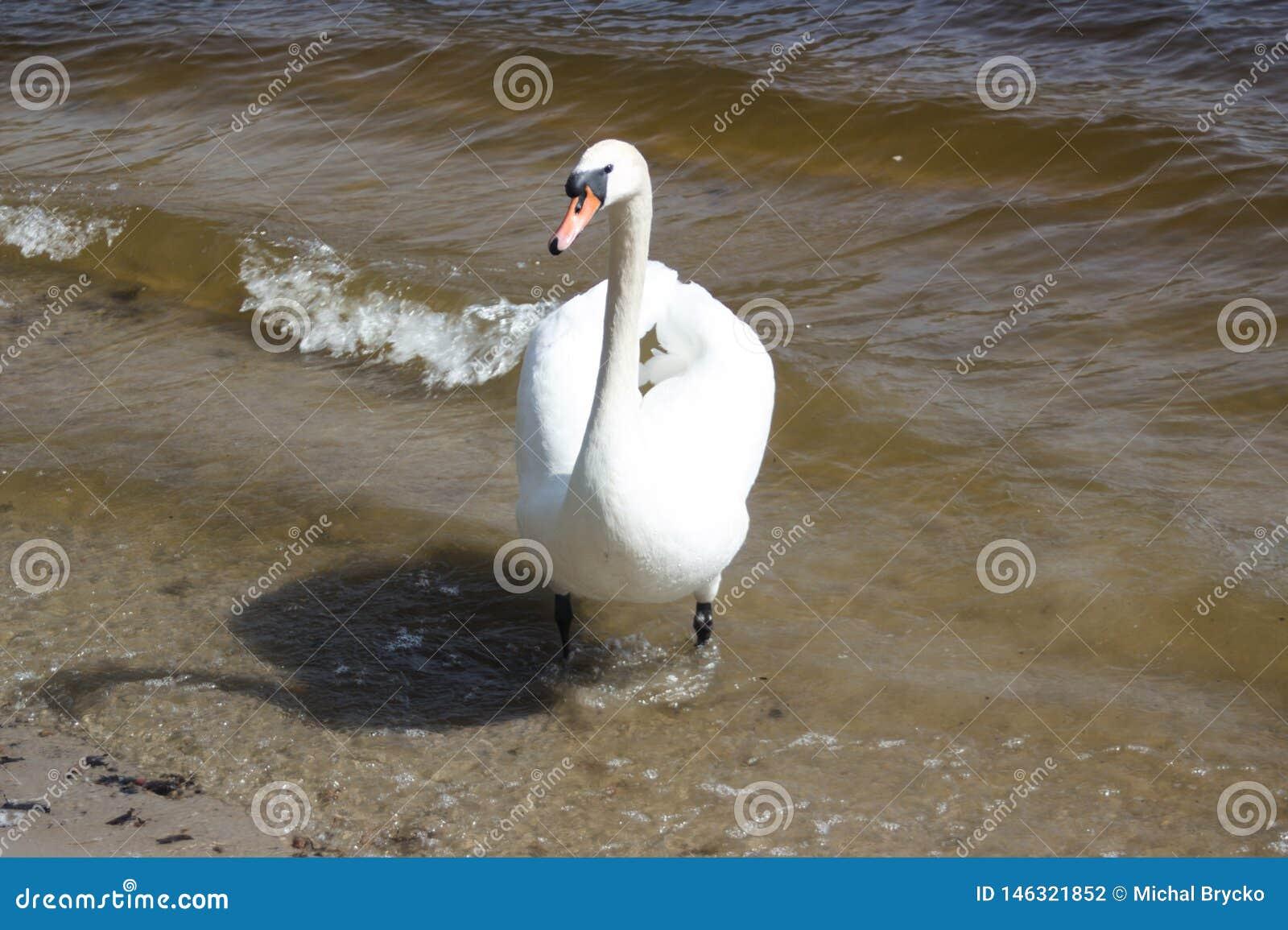 Schoonheids witte zwaan die in het blauwe meer loopt