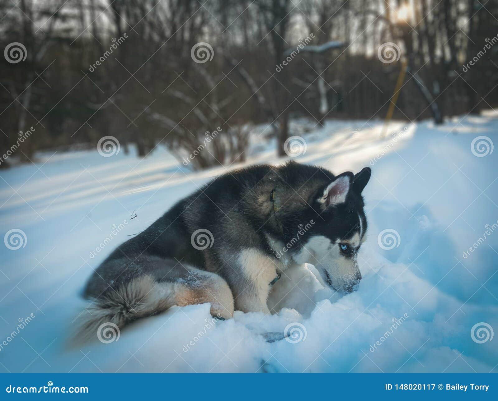 Schor met blauwe ogen in sneeuw