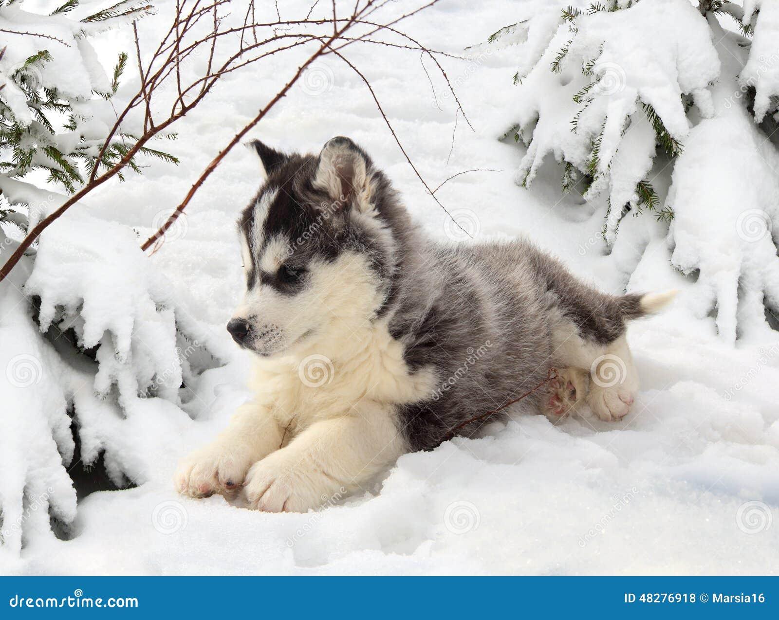 Schor puppy in een de winterbos