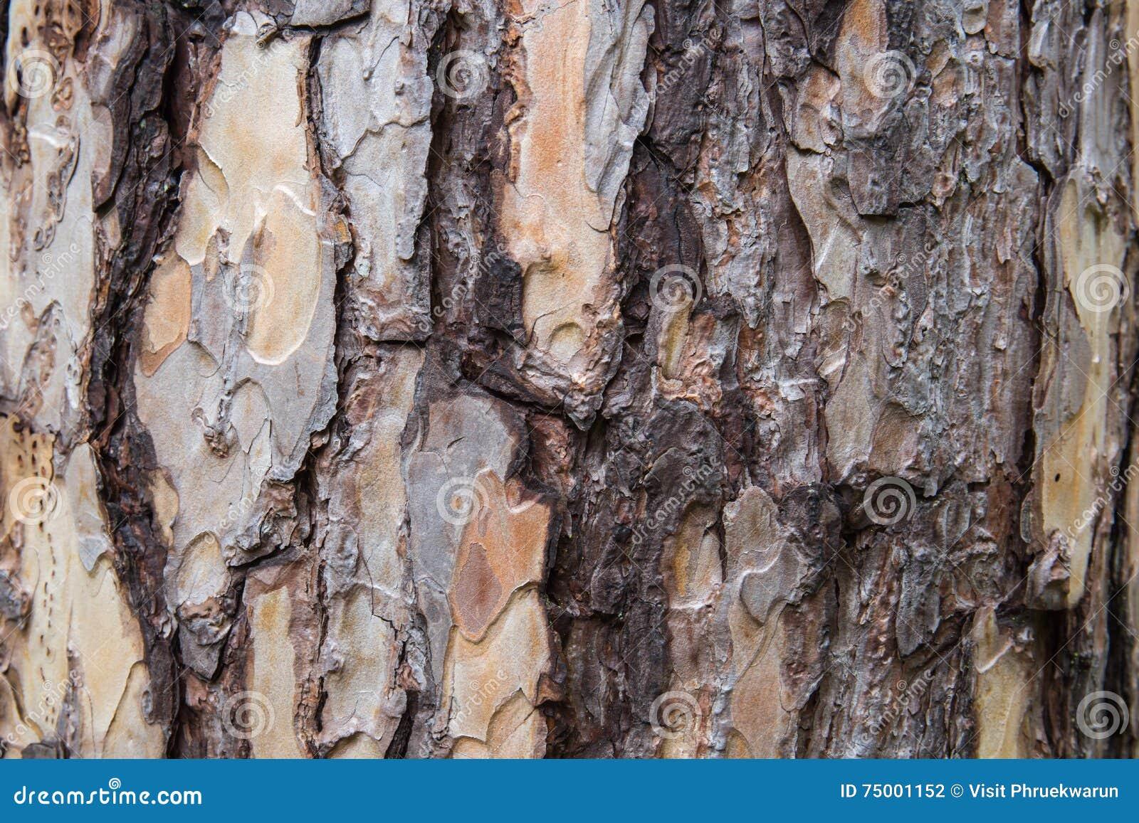 Schors van de textuur van de Pijnboomboom