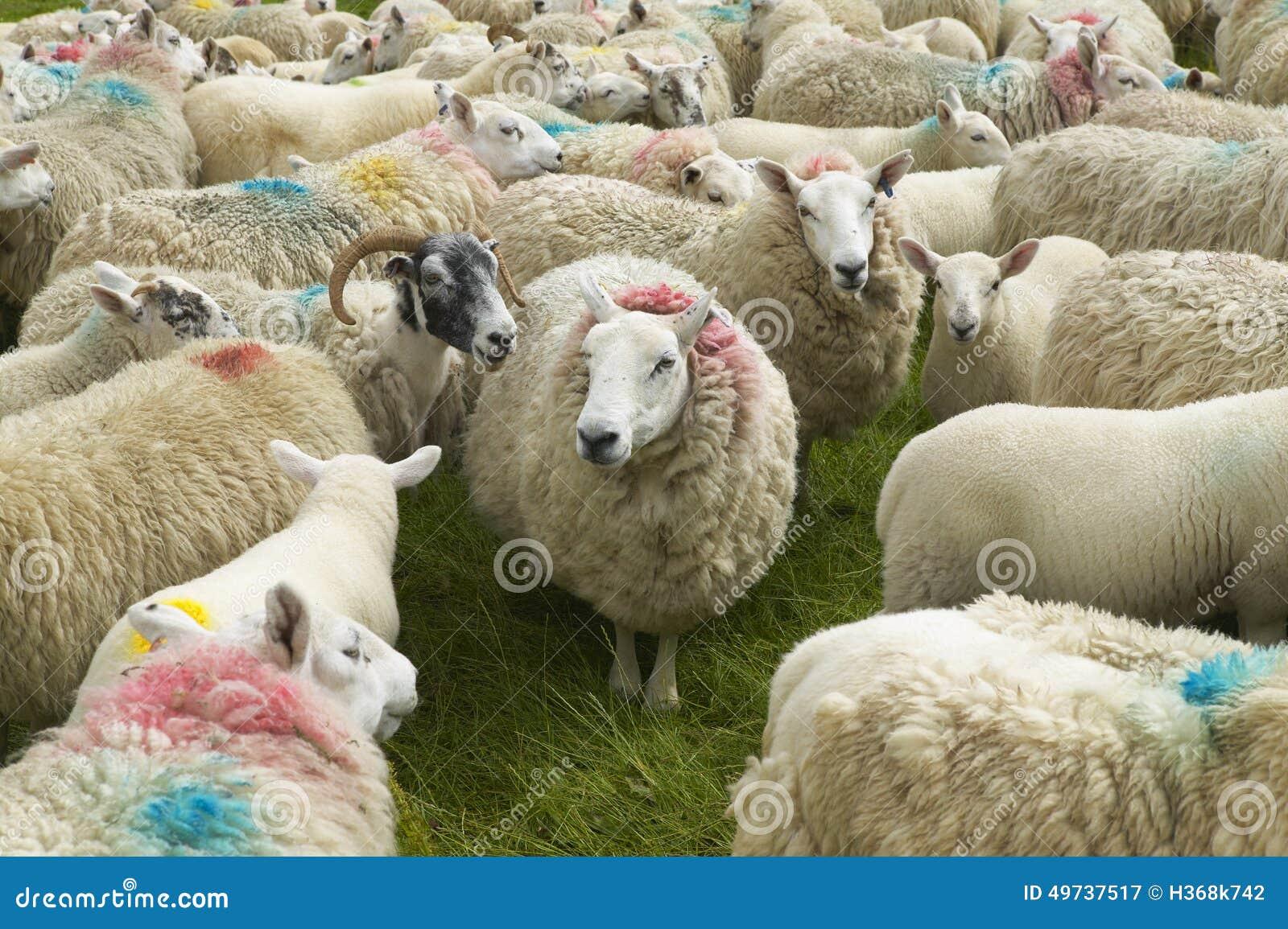 Schottische Schafe markiert mit Farben Skye-Insel schottland Großbritannien