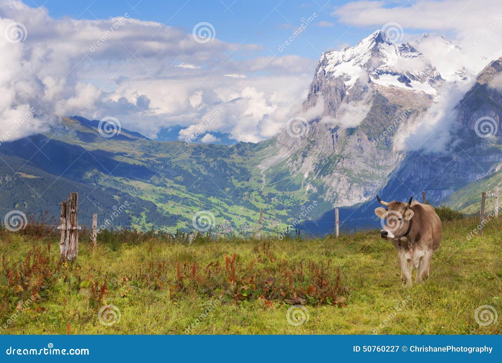 Schreckhorn, взгляды, и швейцарская корова