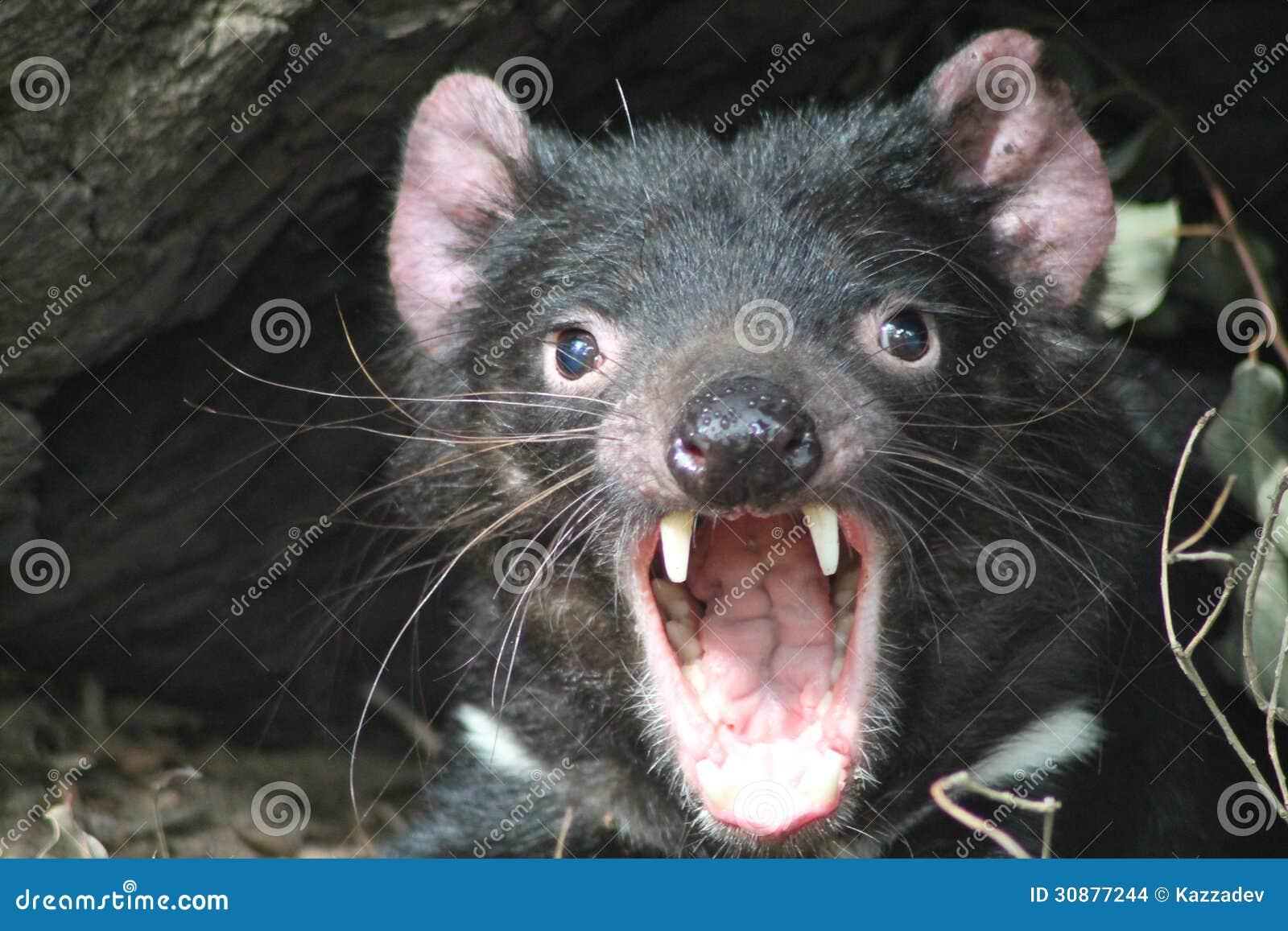Schreiender Tasmanischer Teufel Stockfoto - Bild von ...