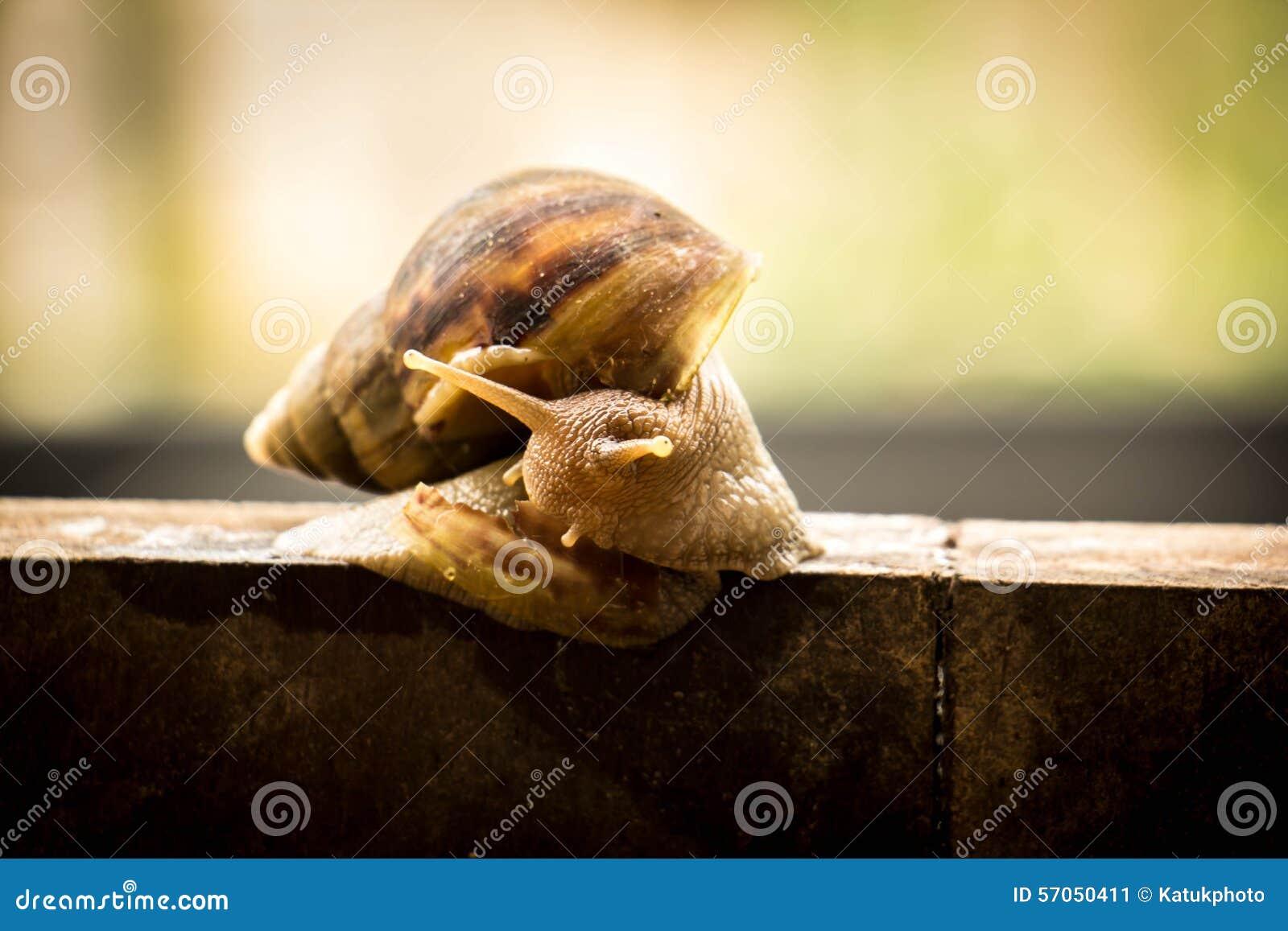 Schroefpomatia, gemeenschappelijke namen de slak van Bourgondië, Roman slak, het EDI