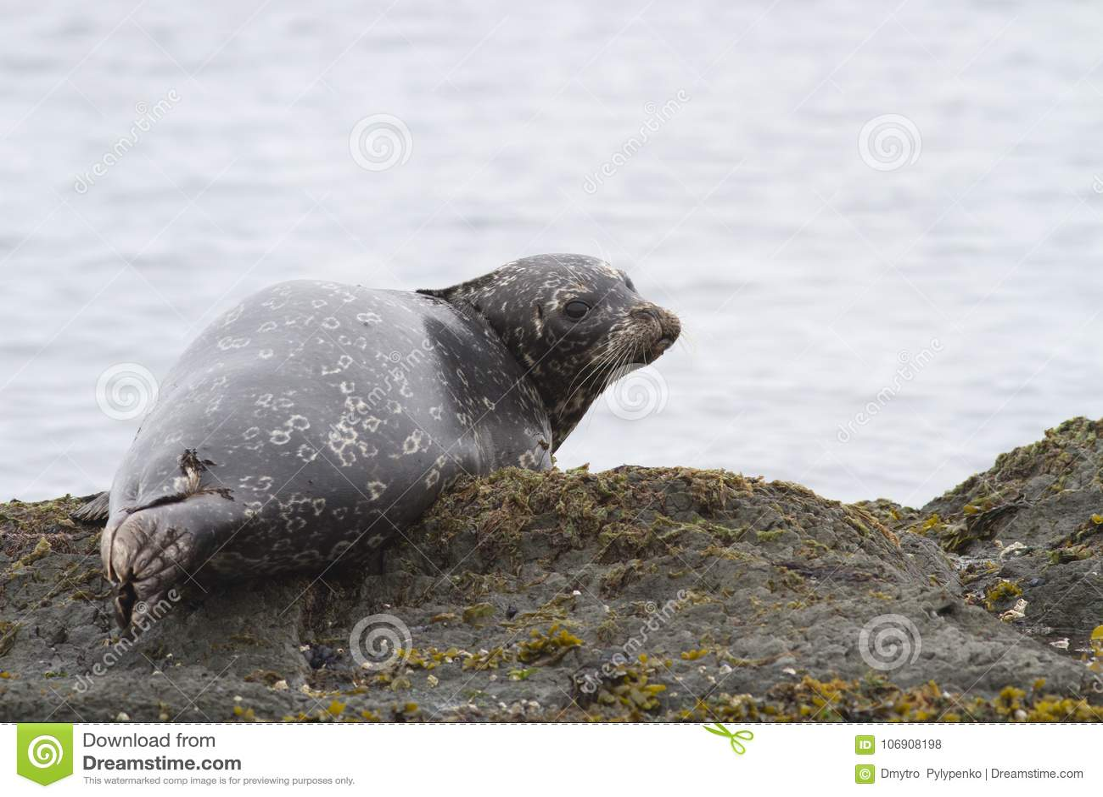Schronienie foka która kłama na rafowym talerzu przy niskim przypływem