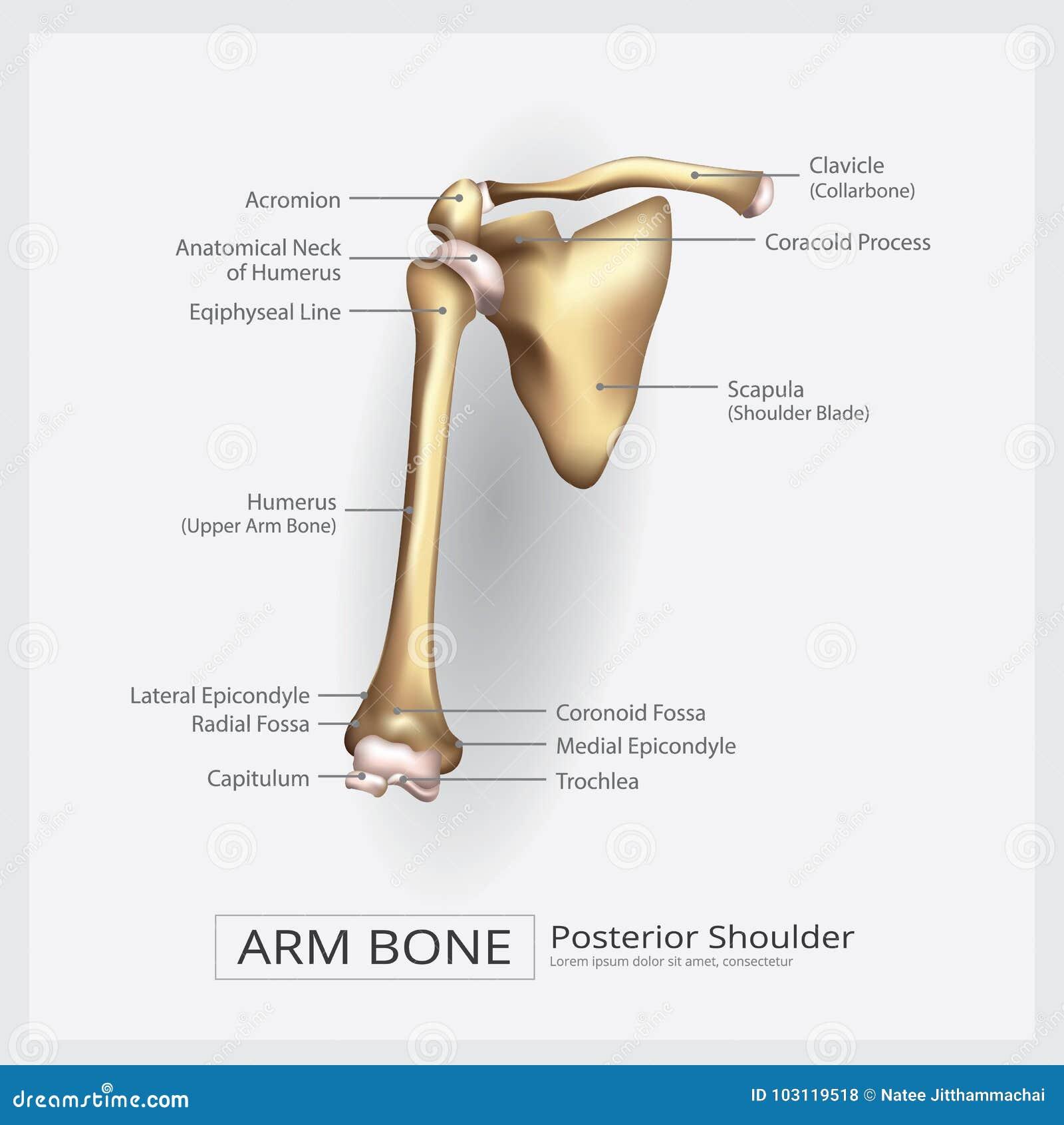 Ziemlich Arme Knochen Bilder - Anatomie Und Physiologie Knochen ...