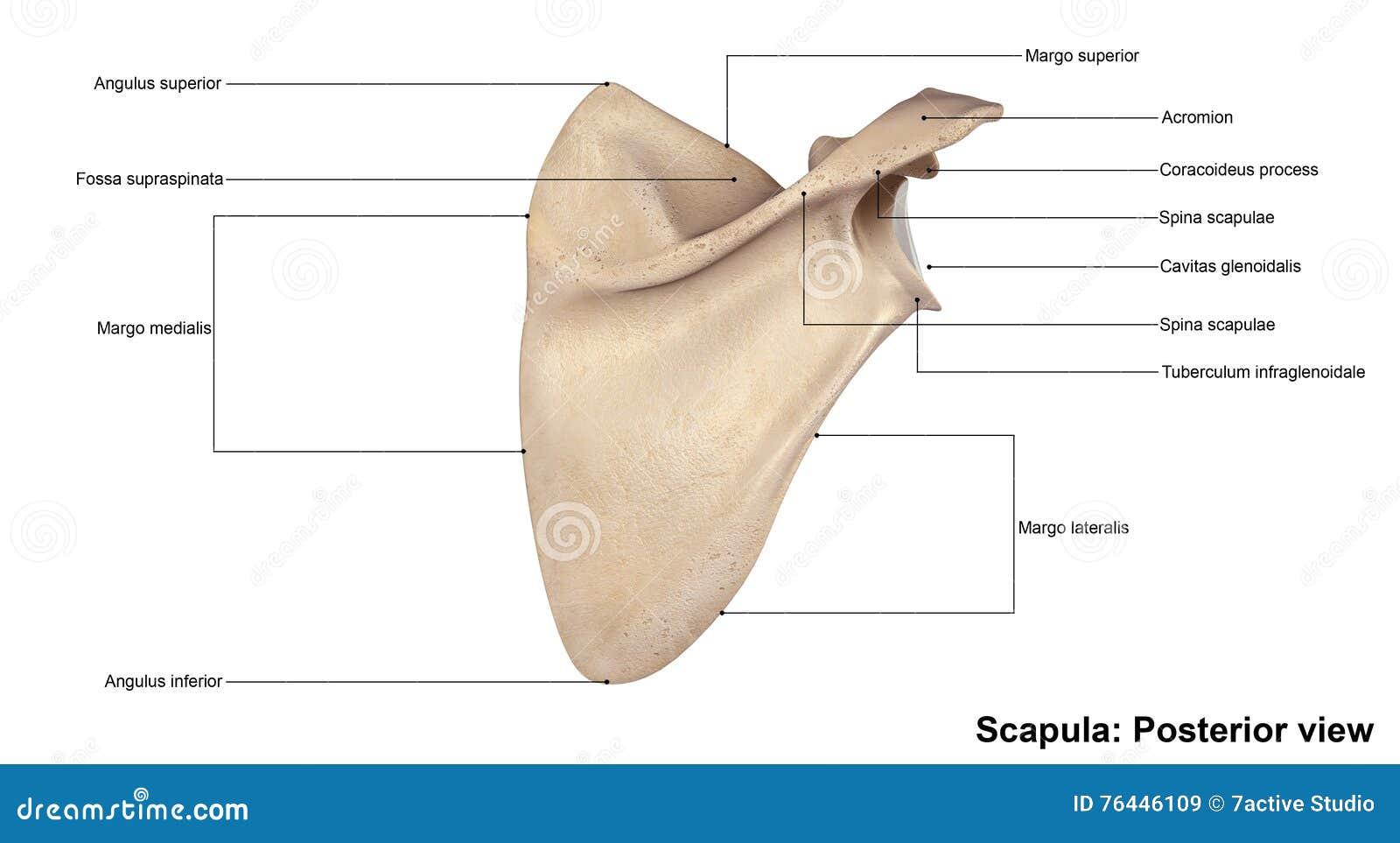 Ausgezeichnet Anatomie Des Schulterblatte Knochen Zeitgenössisch ...