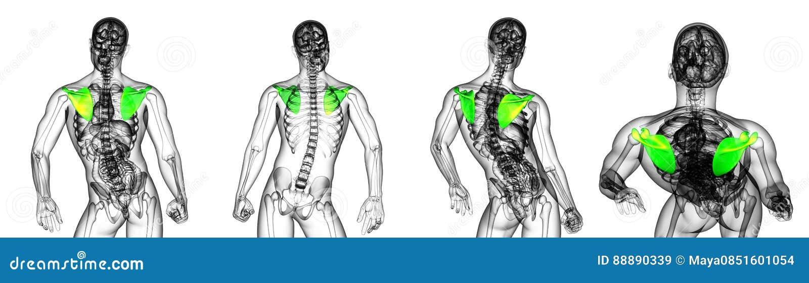 Schulterblattknochen stock abbildung. Illustration von schulterblatt ...