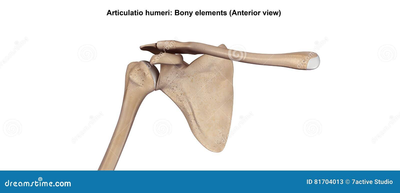 Schultergelenke stock abbildung. Illustration von gesund - 81704013