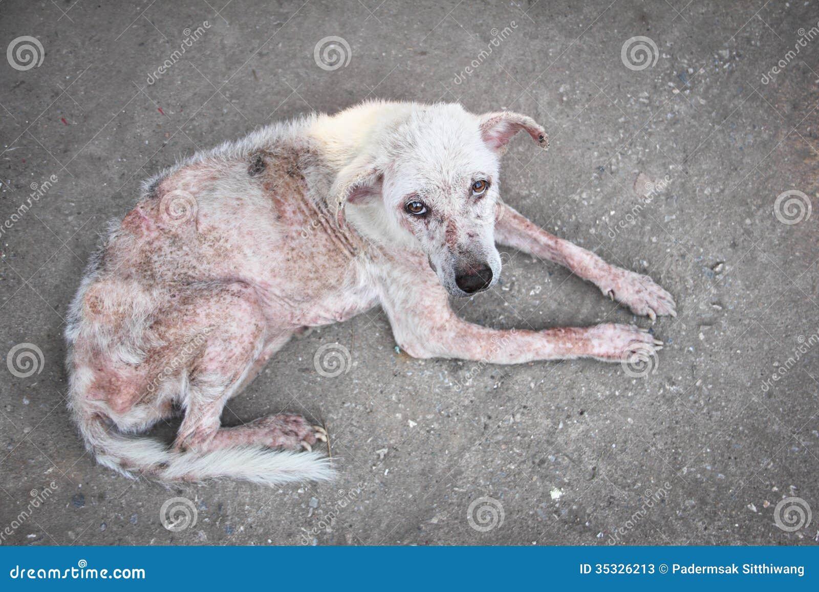 Schurft witte hond