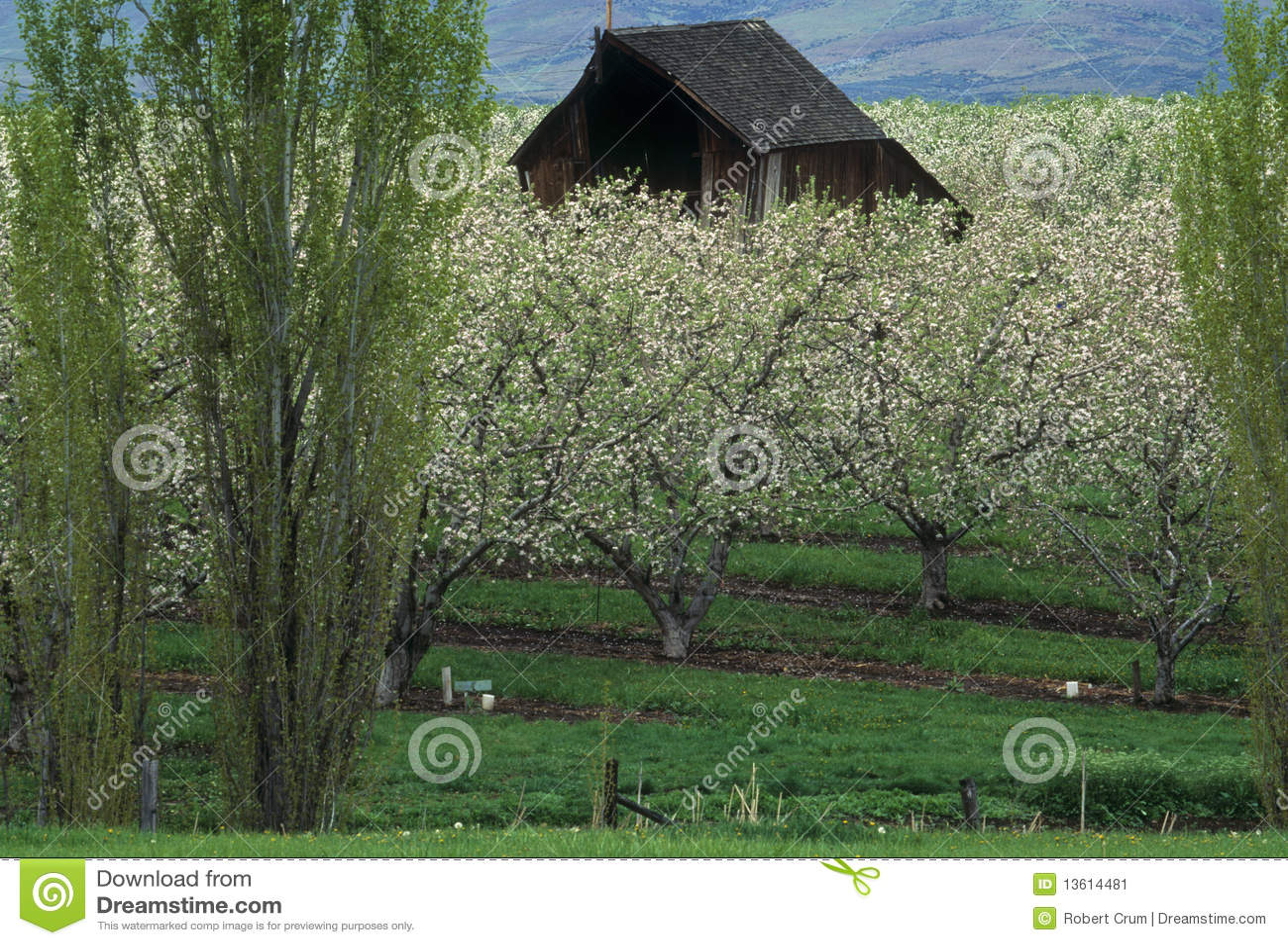 Schuur in een appelboomgaard in de lente